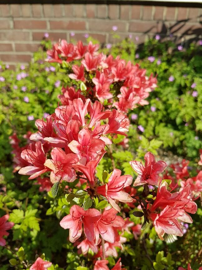 De buren hebben mooie planten in de tuin