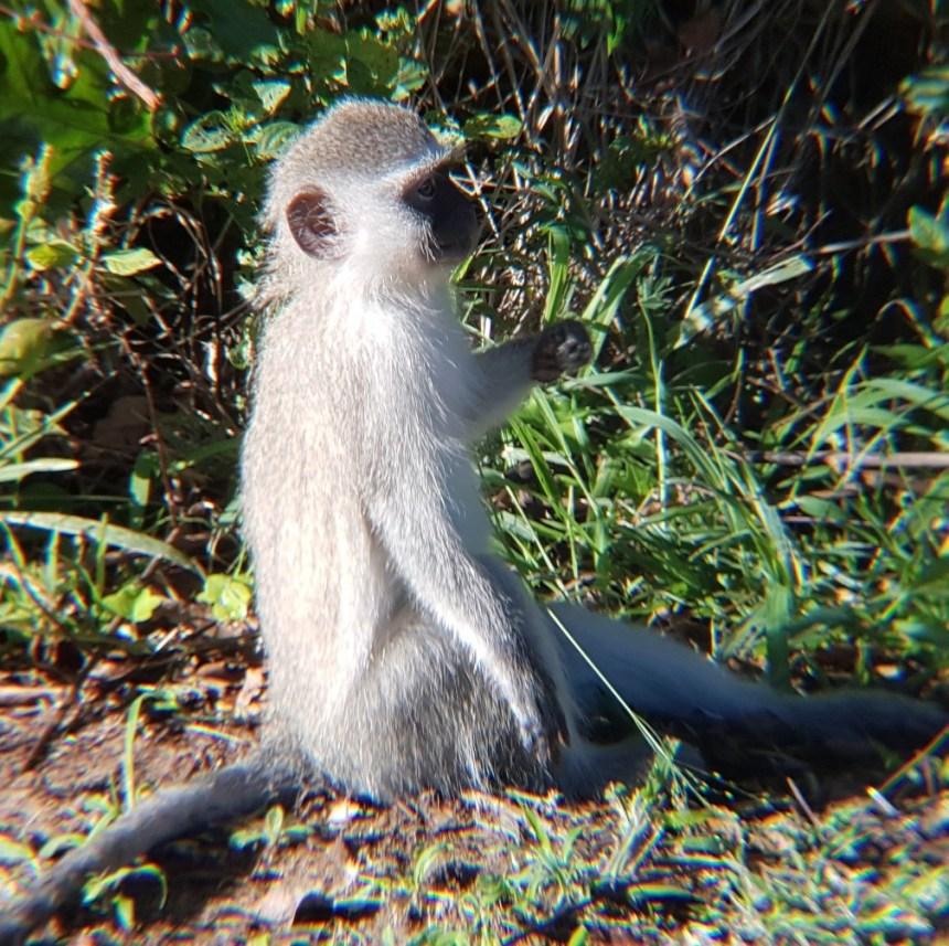 Aapje St. Lucia Wetlands Zuid Afrika