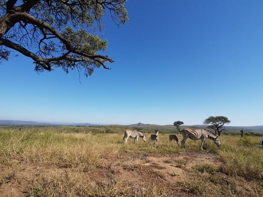 Zebra Hluhluwe National Park Zuid Afrika