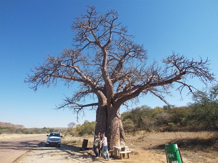 Baobab boom Zuid Afrika
