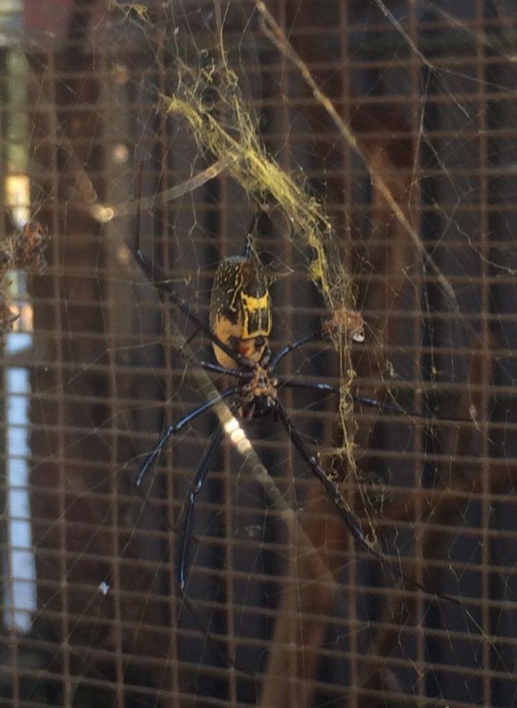Gevaarlijke spin Zuid Afrika