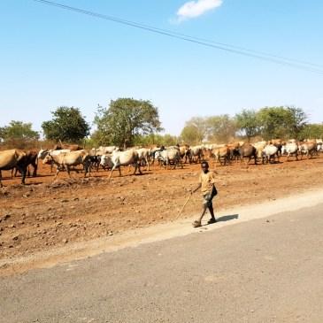 koeien in Kenia