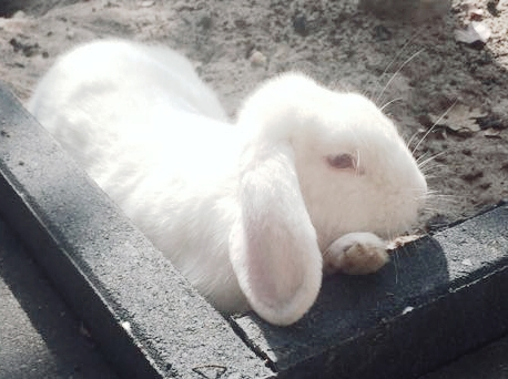 konijn loki