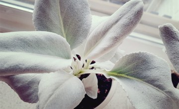 witte plant