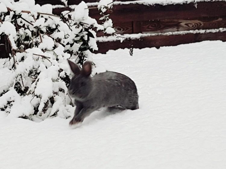 konijn sneeuw schutkleur