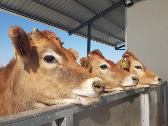 Jersey koeien Cyprus