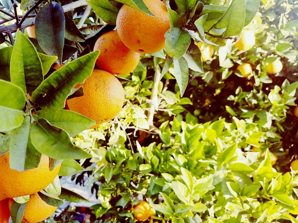 Sinaasappelbomen cyprus