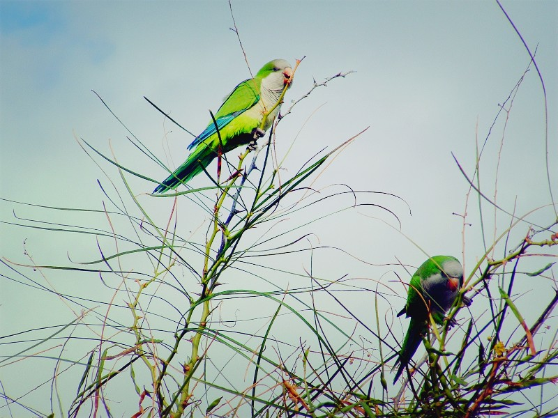 Gran Canaria papagaaien