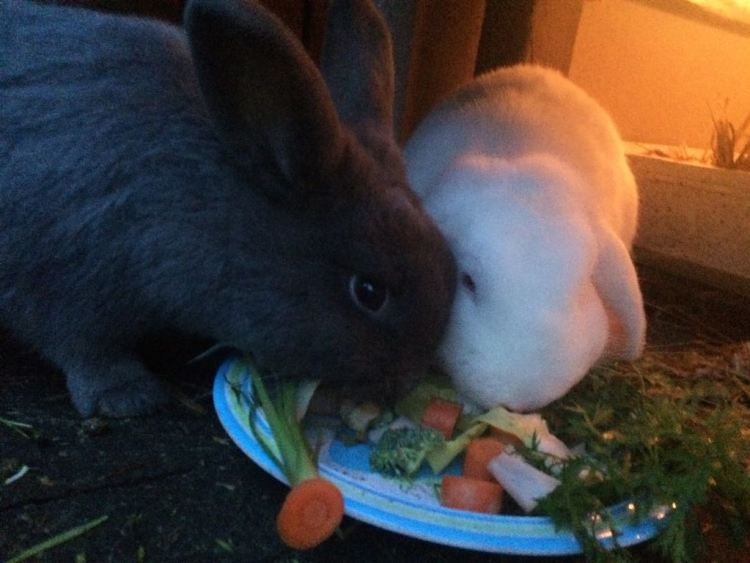 konijnen eten groenvoer