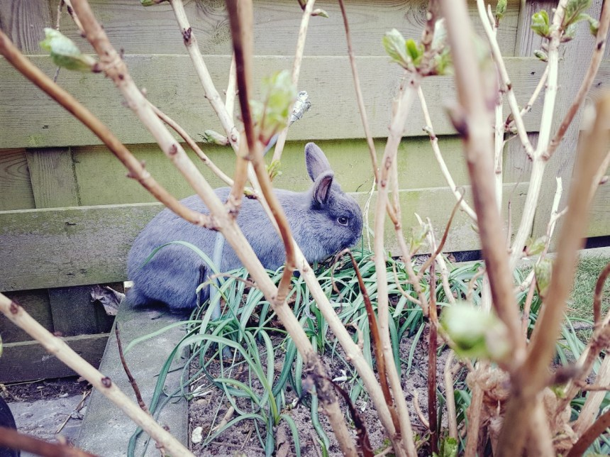 konijn eet sneeuwklokjes