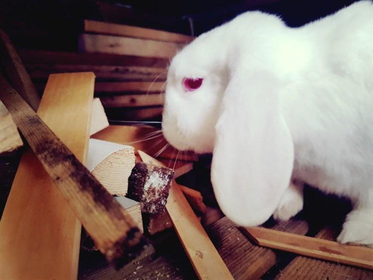 Albino konijn hangoor