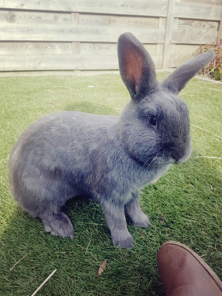 Grijs konijn in de tuin