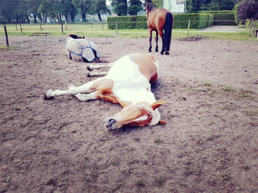 Paard slaapt in de wei