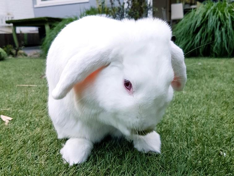 albino konijn wast zich