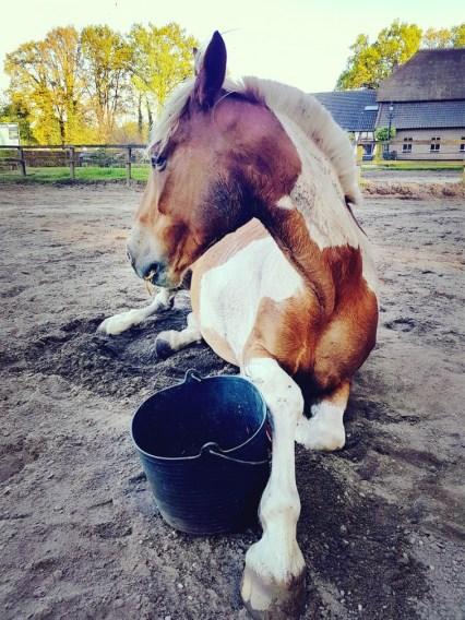 paard liggend eten