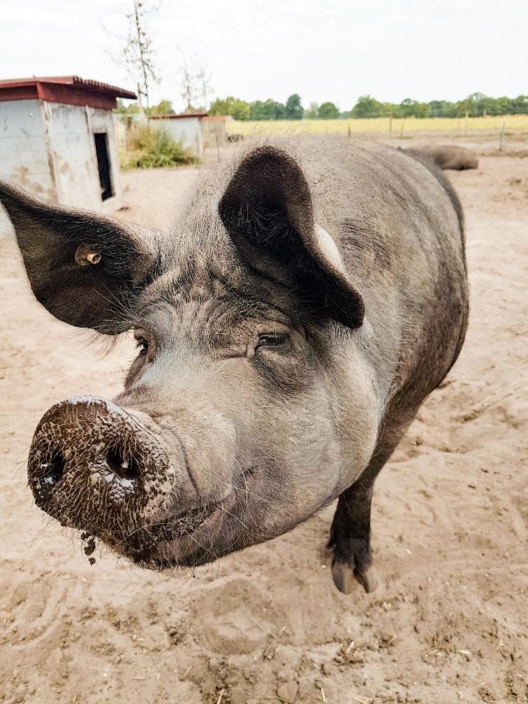 Biologische varkens in vrijheid