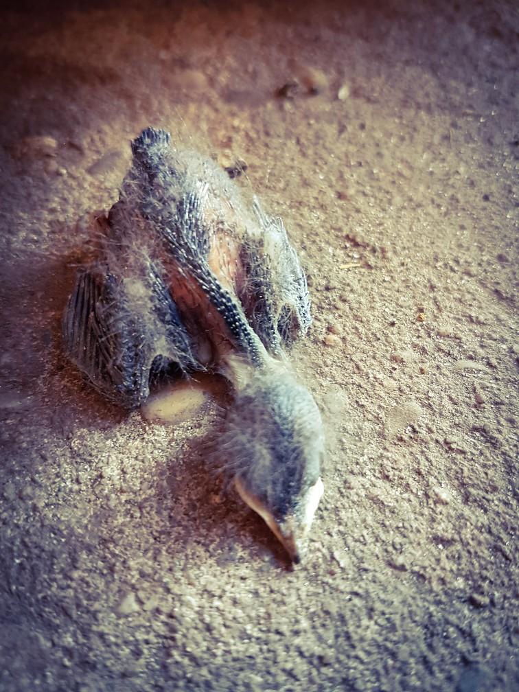 Baby zwaluw uit het nest gevallen