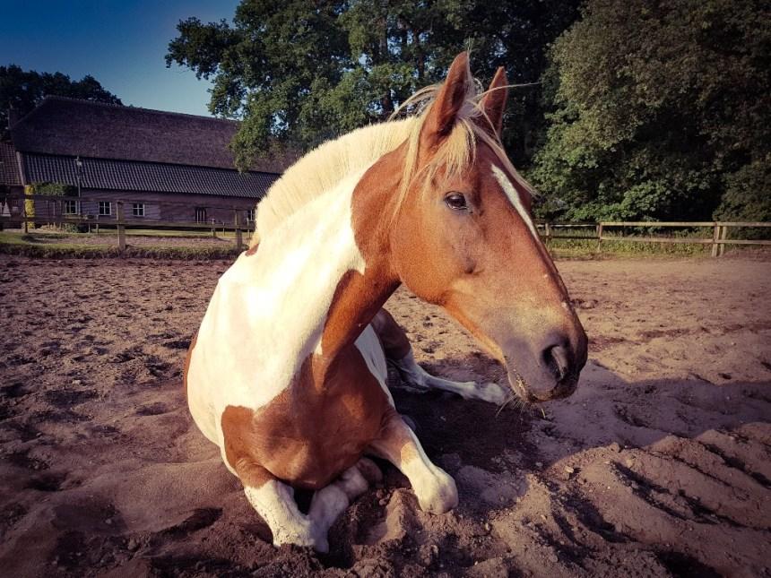 paard slaapt in zand na dressuur