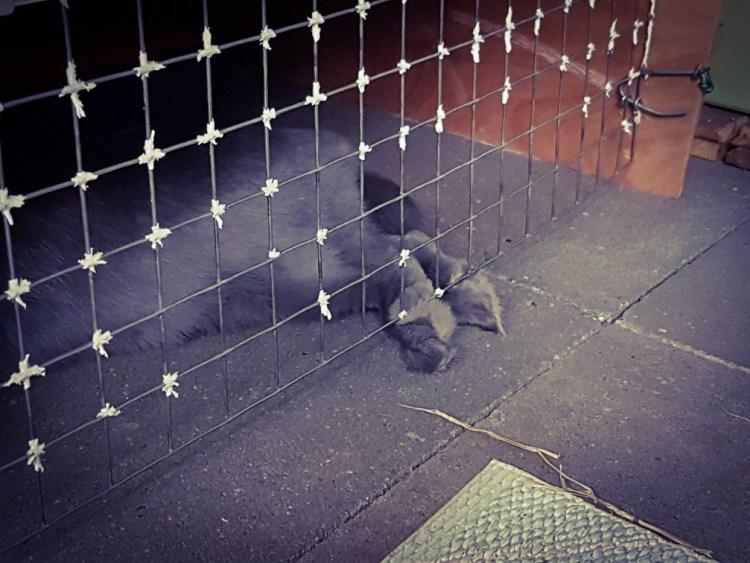 grijs konijn past niet in hok