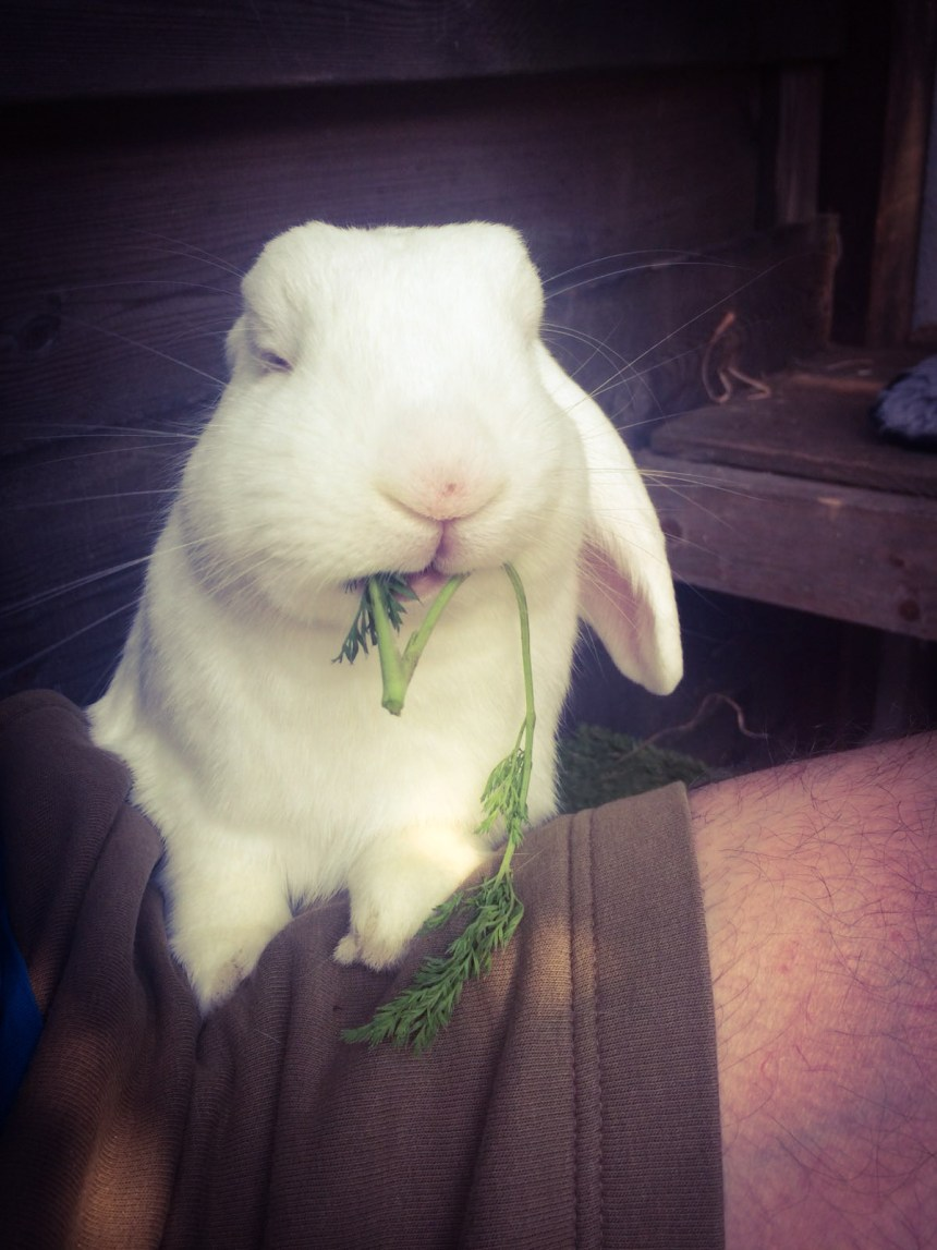 konijn eet wortelloof