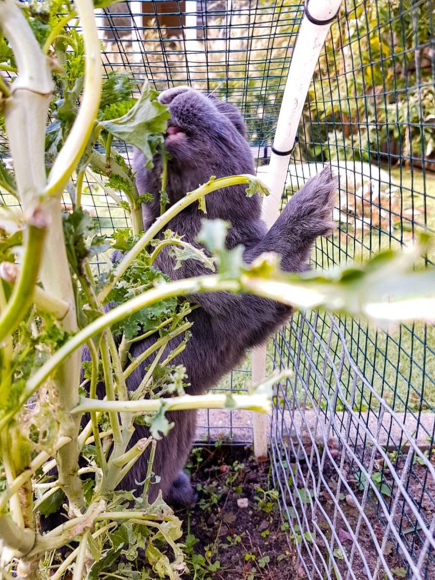 konijn eet boerenkool moestuin