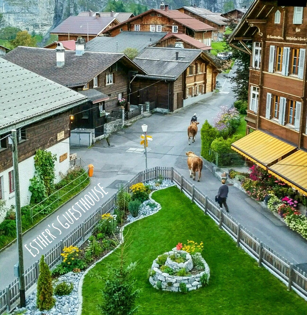 gimmelwald switzerland esthers guesthouse cows