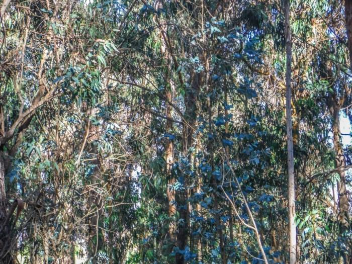 haleakala eucalyptus