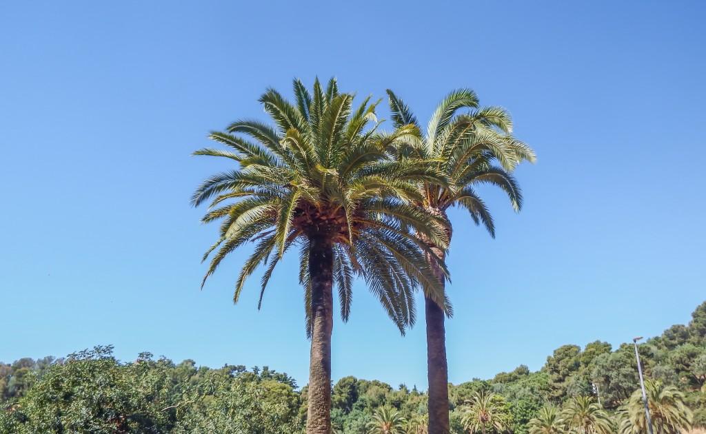 Palm trees in Antoni Gaudí's Park Güell in Barcelona, Spain