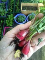 Pierwsze zbiory:D First harvest:D