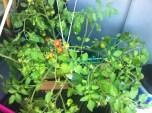 first cherry tomatoes:)) pierwsze pomidorki koktajlowe:))