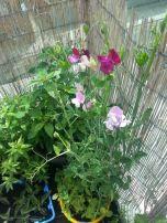 Sweet peas are the absolute sweetest-smelling flowers!!! Groszek pachnący zakwitł na dniach - zapach jest przepiękny!!!