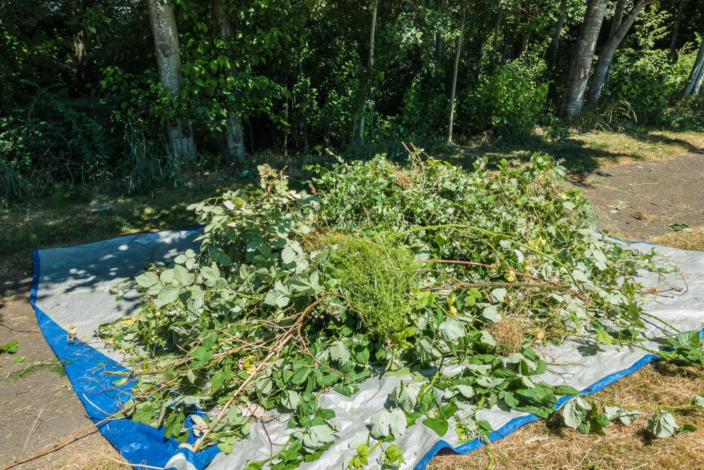 West Hill Action Mob (WHAM) Work Party - invasive weeds cleared in Skyway Park, June 20 2015