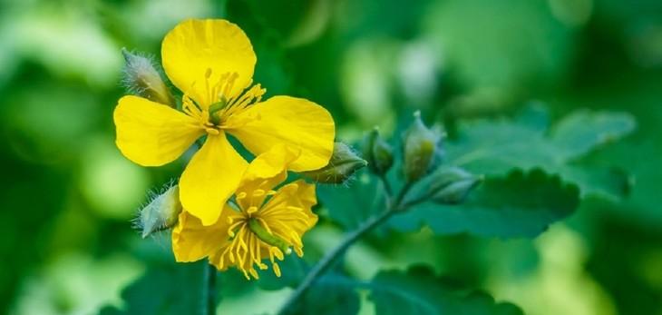 Glistnik jaskółcze ziele – mała roślina o wielkim działaniu