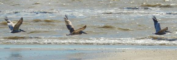Pelicans in Flight, Galveston, Texas