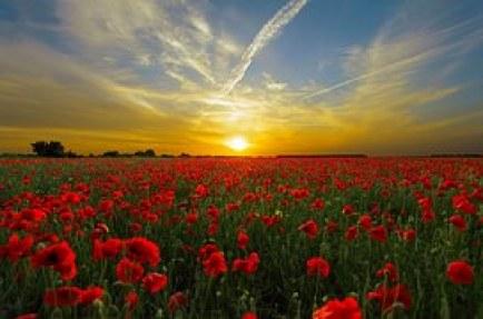 destiny poppy flowers sunset