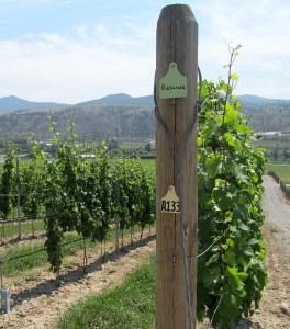 Harpers Trail Riesling vines
