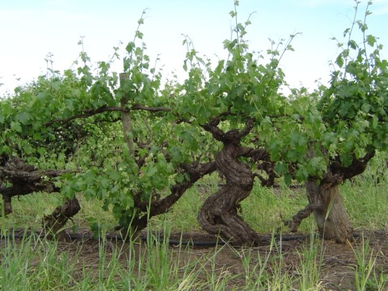 Old Girl Shiraz vines