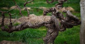 Old Vines in Barossa (Image courtesy http://www.barossa.com/wine/wine-chapters/the-barossa-old-vines)
