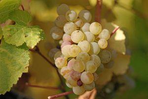 langvineyards.ca/wines/grapes/
