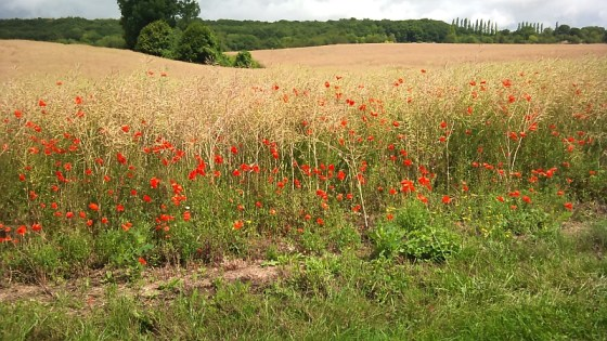 poppies growing along the roadside
