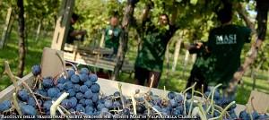 Masi picking grapes in Valpolicella Classica region