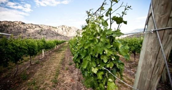 Sundial Vineyard (courtesy Encore Vineyards)