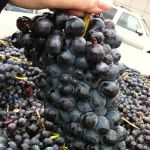 Barbera cluster (By Agne27 (Own work) [CC BY-SA 3.0 (http://creativecommons.org/licenses/by-sa/3.0)], via Wikimedia Commons)