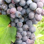 Close up of Nebbiolo cluster in Italy