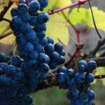 Ripe grapes from Blue Grouse Estate Winery