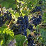 Ripe Pinot Noir grapes at Privato Vineyard and Winery in Kamloops