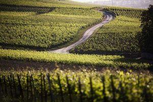 Taittinger vineyards