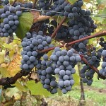 Gamay grapes (Image courtesy wikipedia author Viking59)