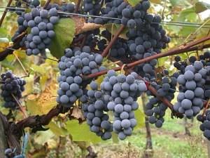 Gamay grapes (Image courtesy wikipedia author Viking59)