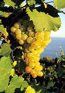 Biancolella (Image courtesy httpswww.xtrawine.comitvitignibiancolella12)